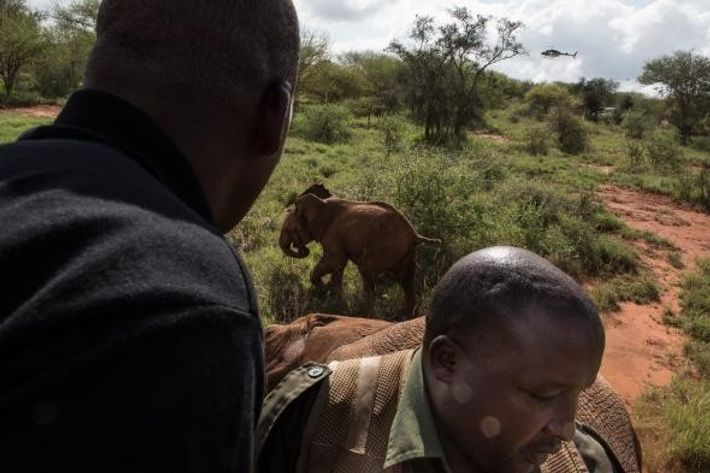 Cría de elefante, Nairobi
