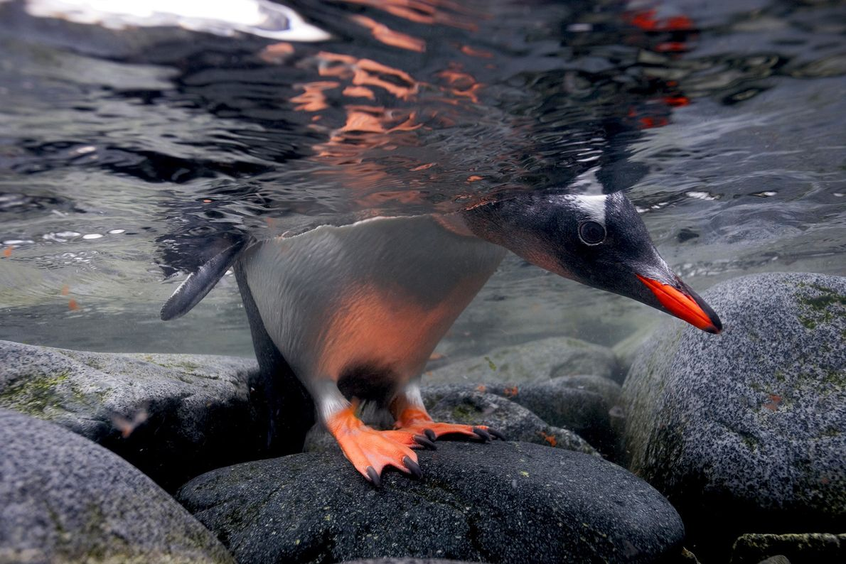 Un pingüino papúa