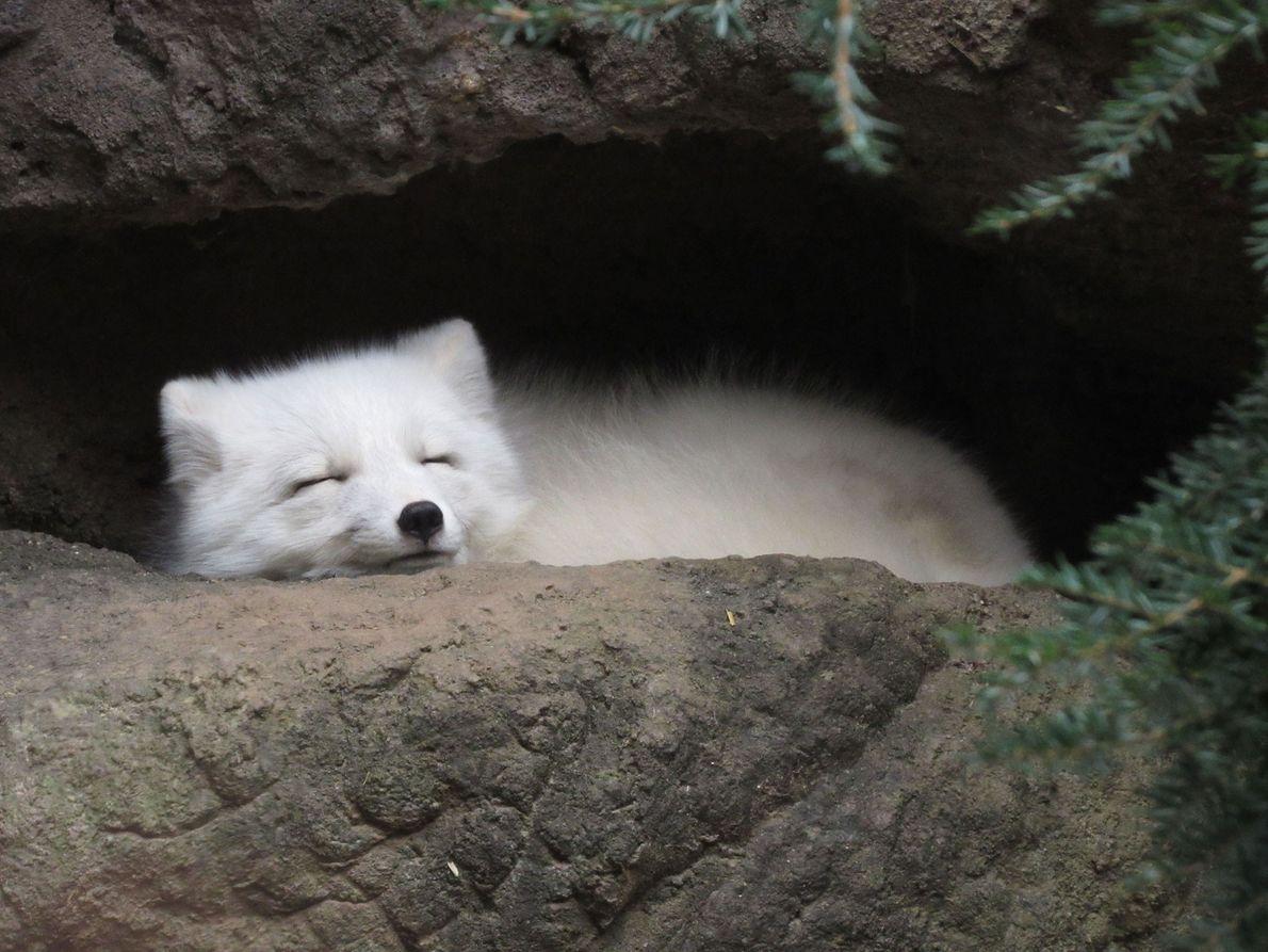 Un zorro polar duerme en su madriguera. Este zorro está preparado para el invierno: su denso ...
