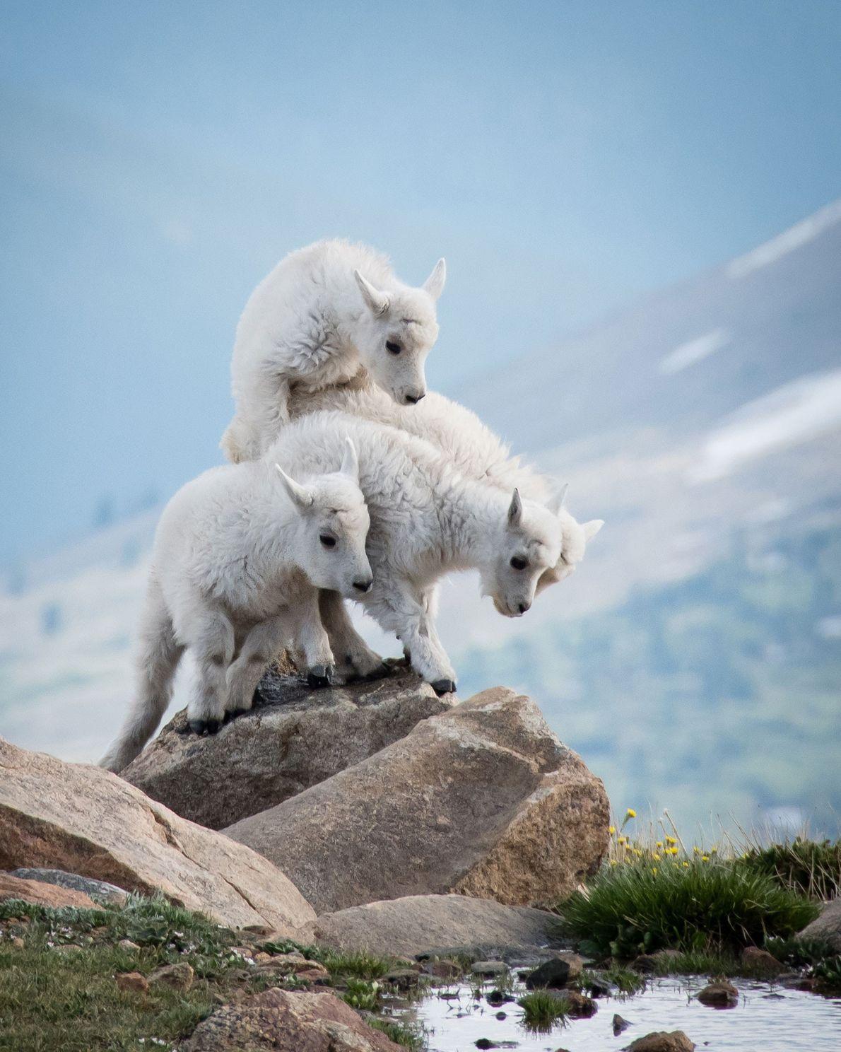 Cabras blancas
