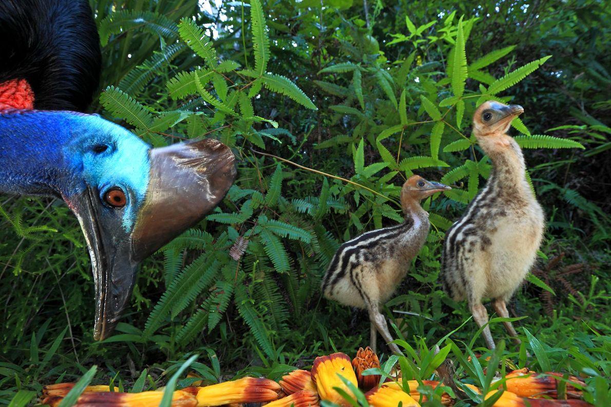 Un casuario y sus polluelos