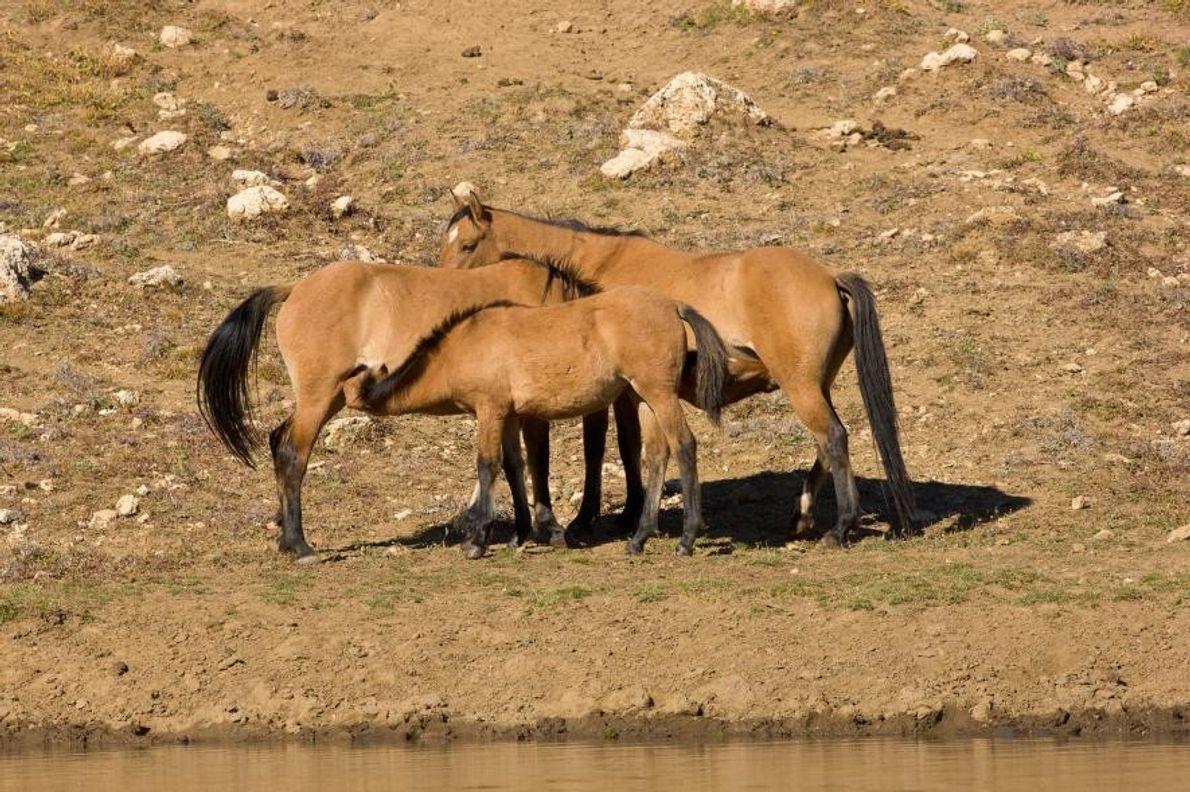 Mustangos