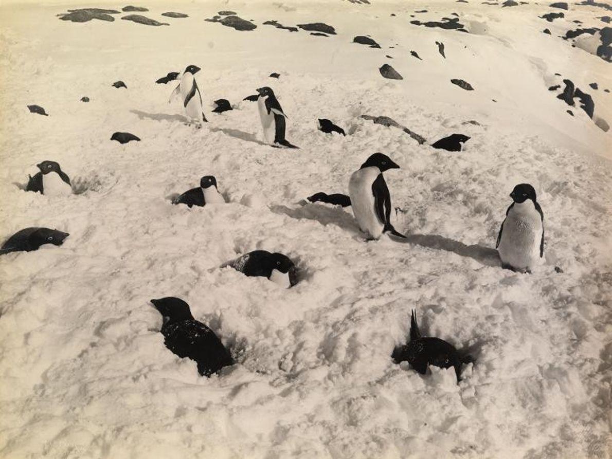 Un grupo de pingüinos