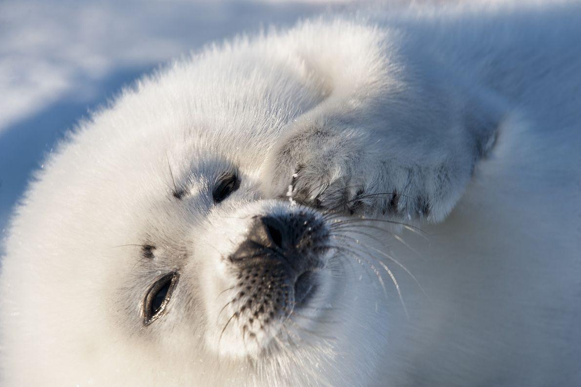 Cachorro de foca arpa