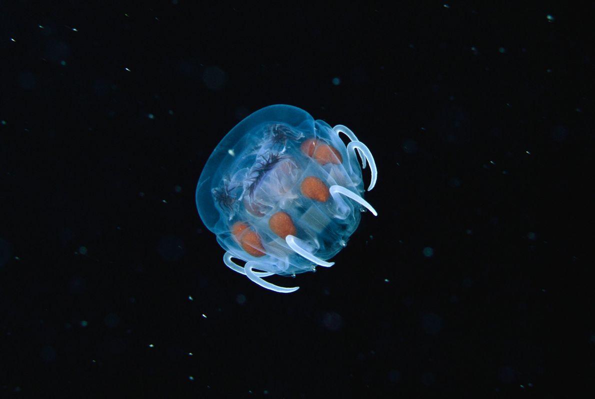 Medusa bebé