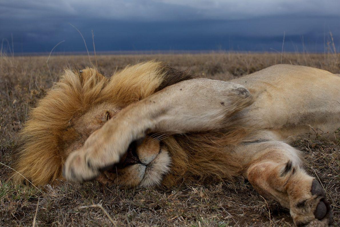 León descansando