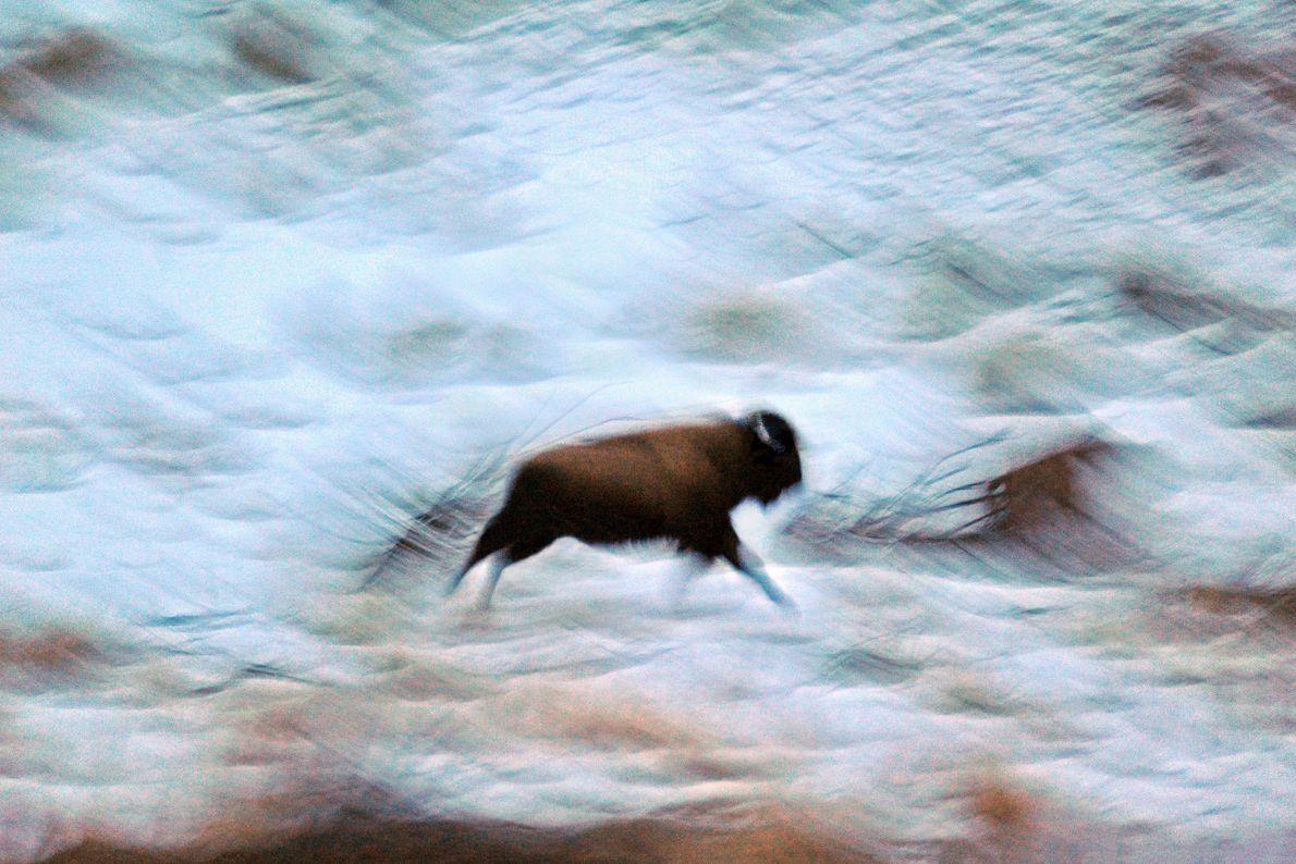Un bisonte solitario