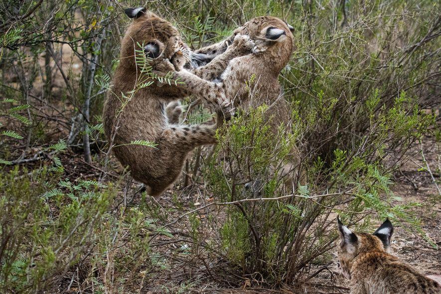 Con el paso del tiempo, las presas cambiaron de conejos de cola de algodón enteros a ratas vivas o ratones de campo. La madre volvía atravesando la verja y dejaba la cena mientras las crías atacaban.