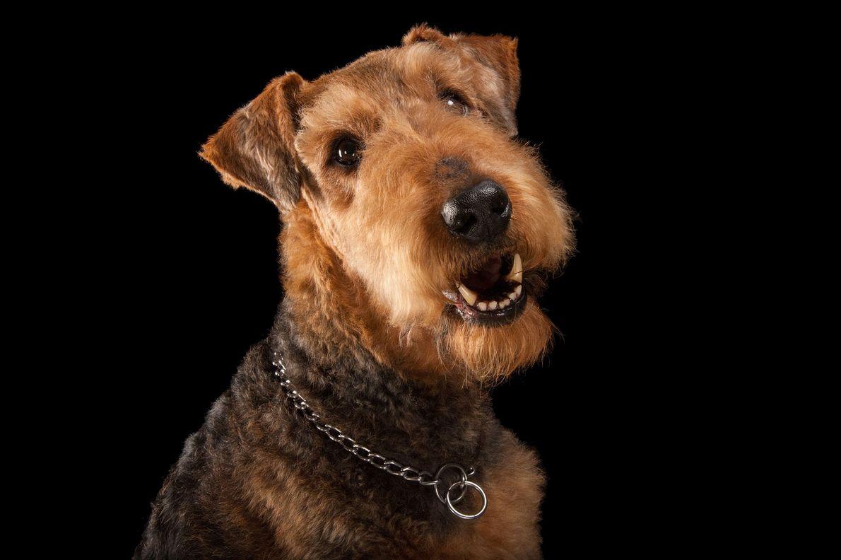 Un Airedale terrier