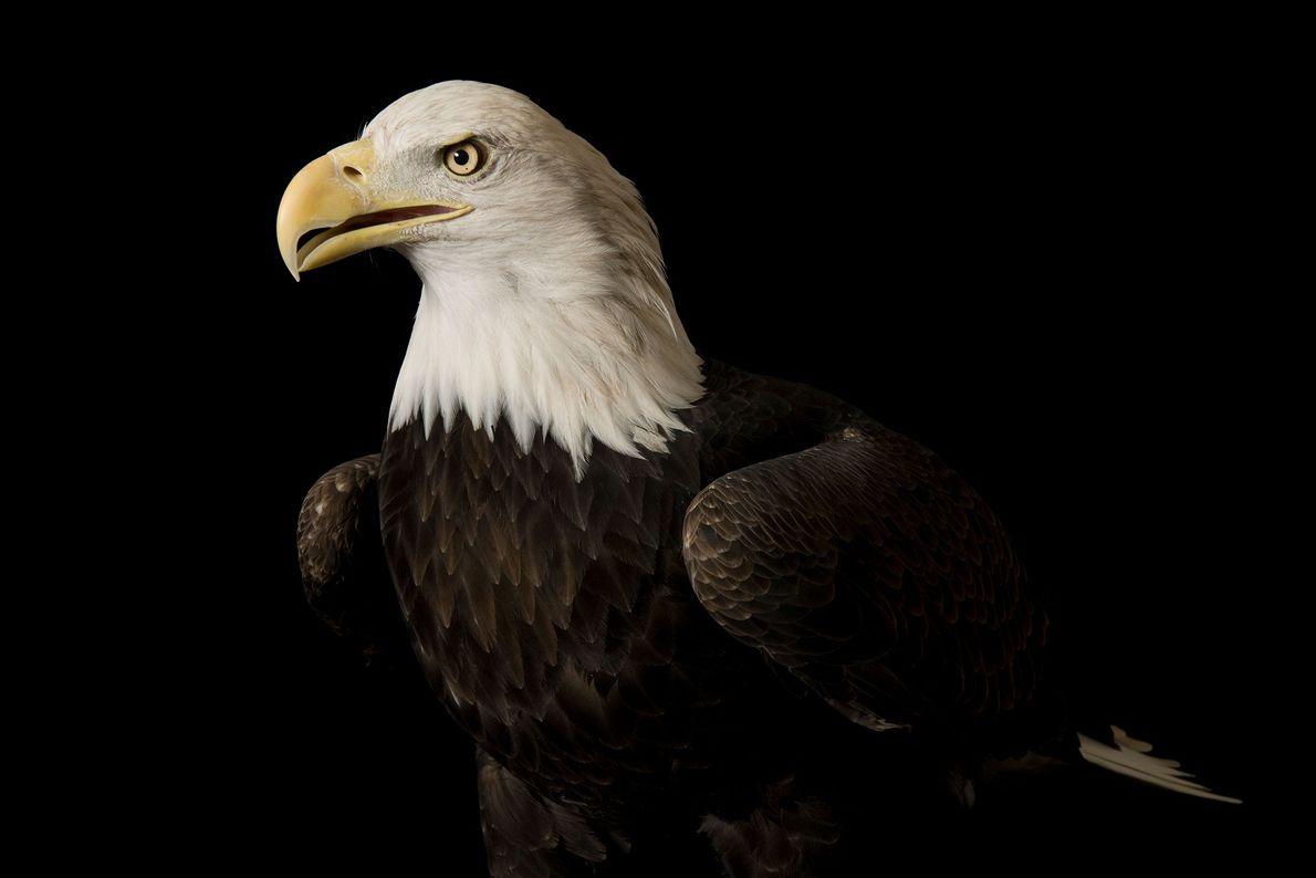 Un águila calva