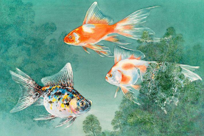 Tres tipos de peces rojos