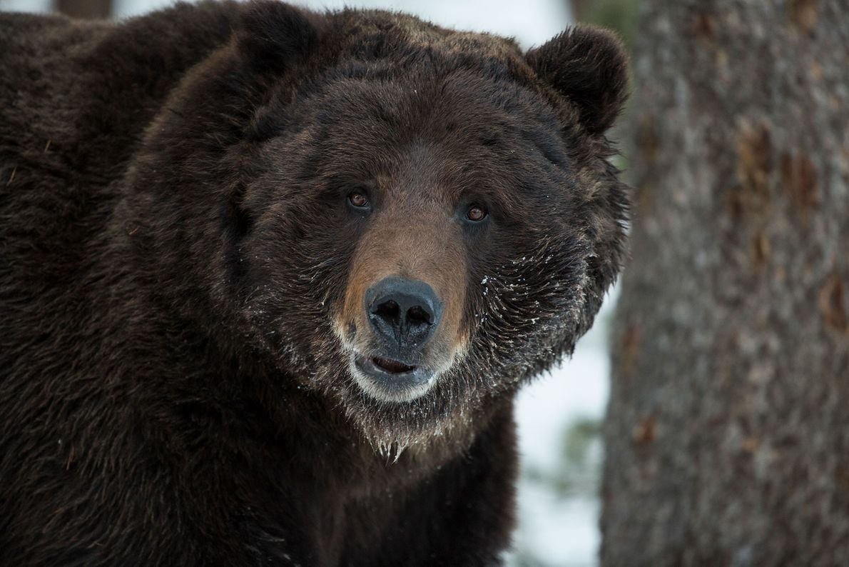 Oso grizzly