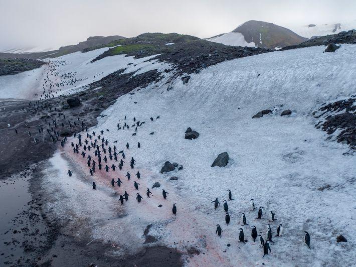 Pingüinos barbijos