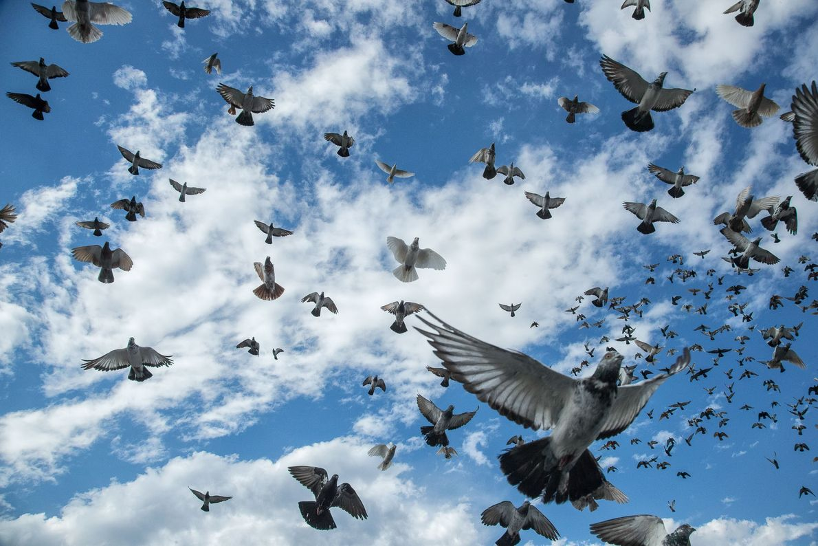 Mikey Scott's pigeons wheel above Bushwick. Flyers keep many different breeds of pigeon, and often have ...