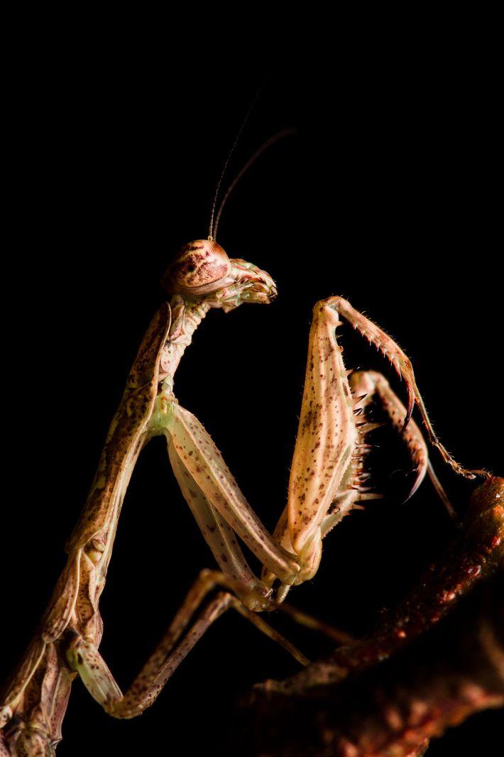 Una mantis verde