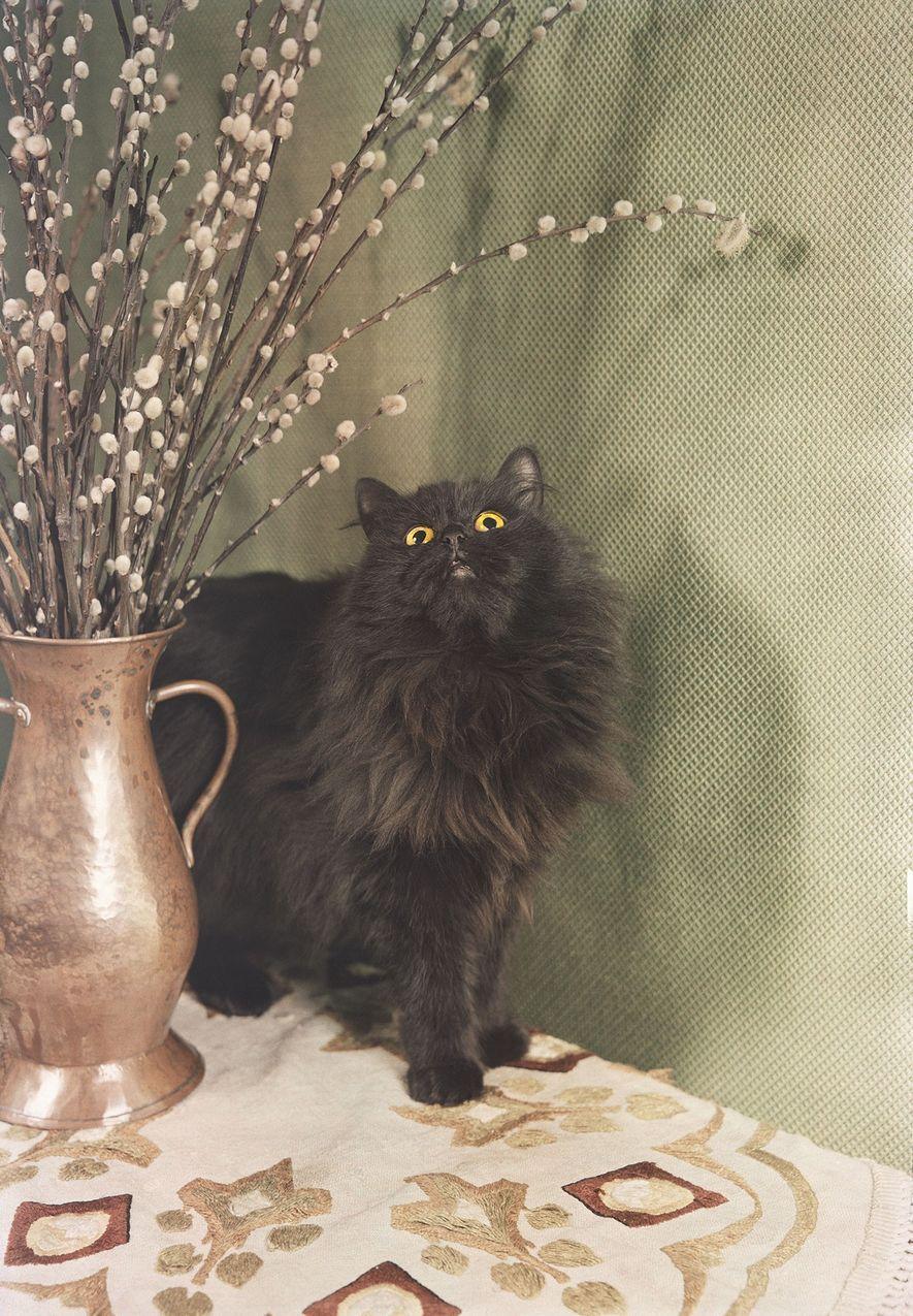 Persa negro