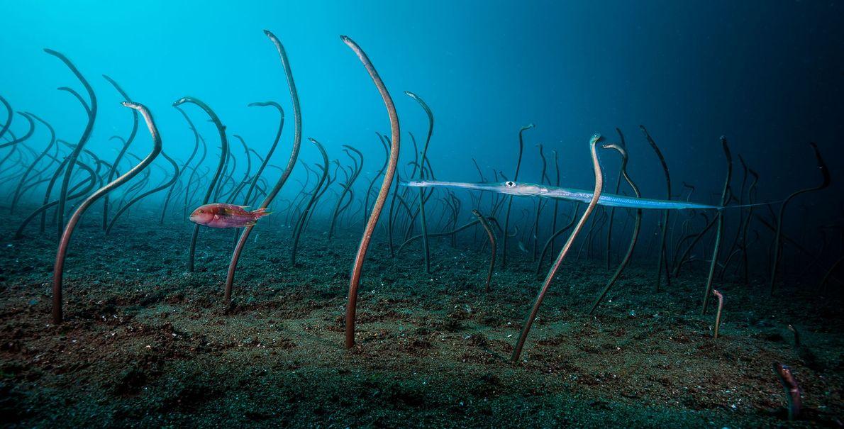 Anguilas de jardín, David Doubilet