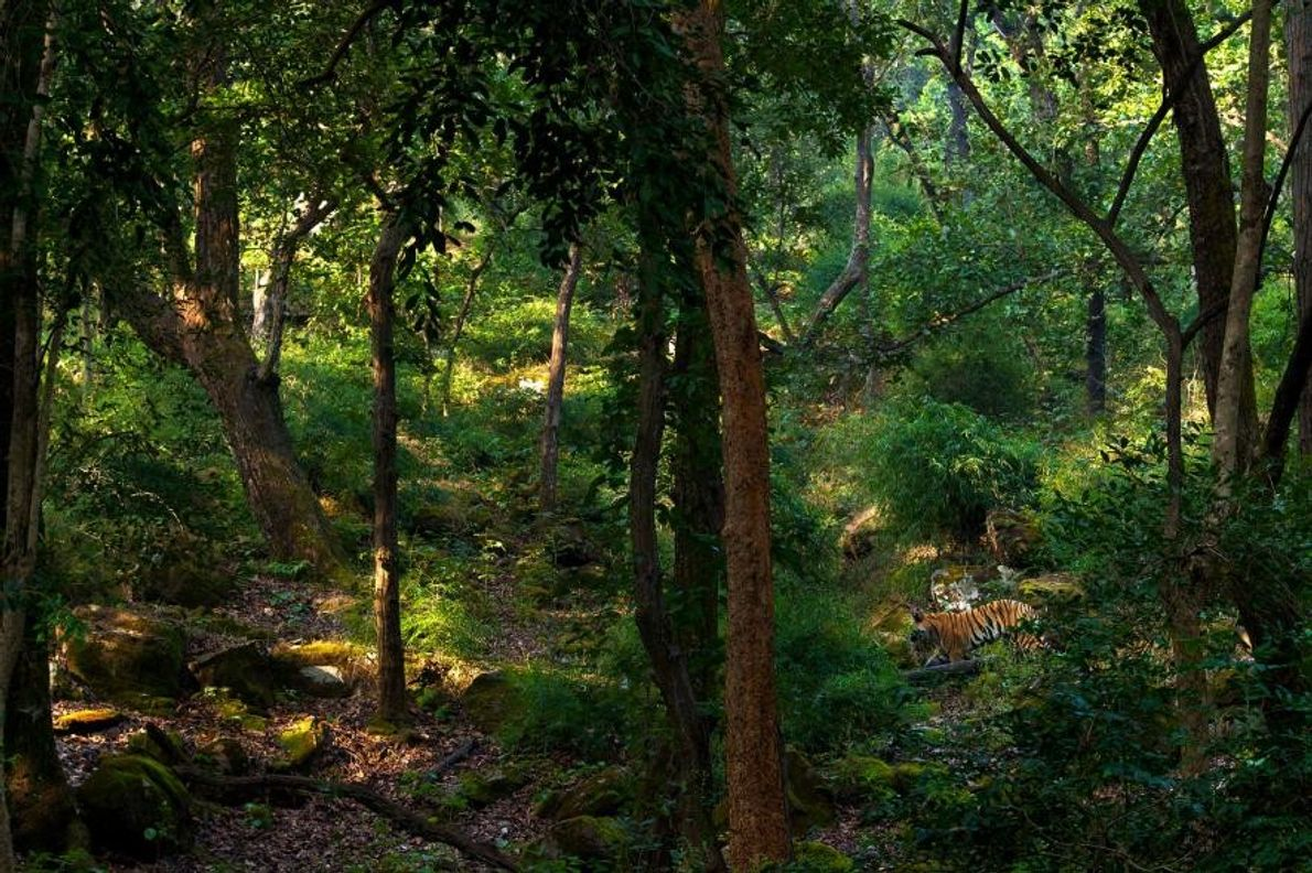 Reserva para tigres Bandhavgarh