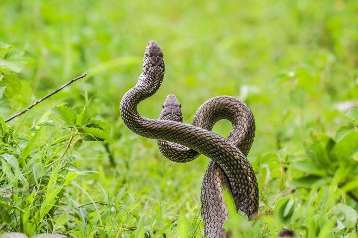 Serpientes Ptyas mucosa