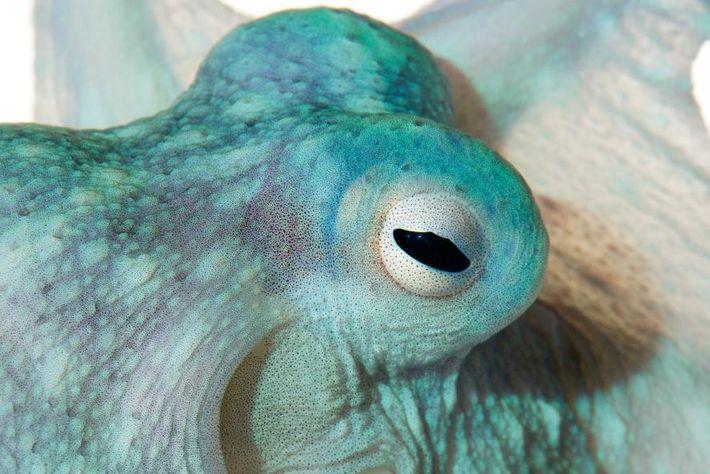 Callistoctopus alpheus