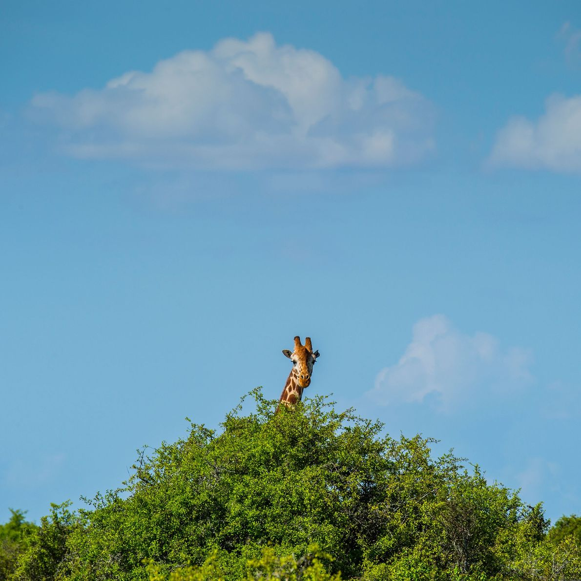 Una cría de jirafa