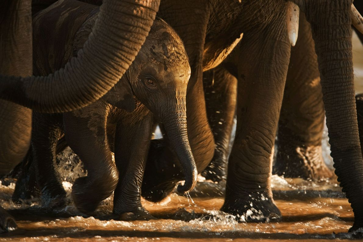 Un elefante recién nacido cruza el río Ewaso Ngiro