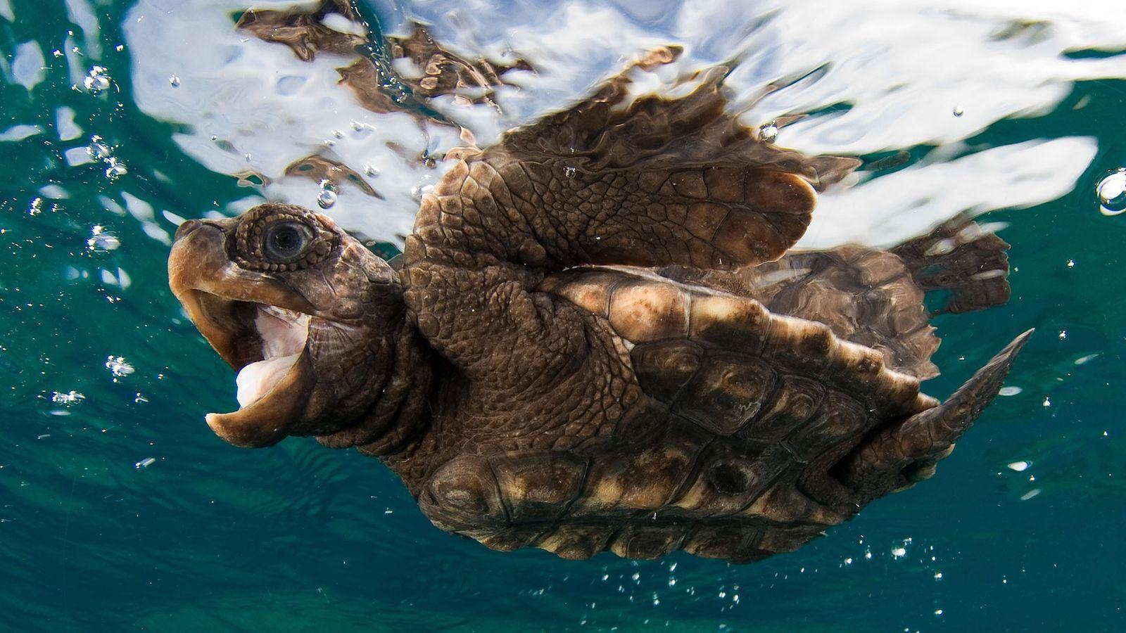 Una cría de tortuga boba