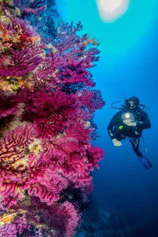 Un buzo pasa frente a una pared submarina llena de corales