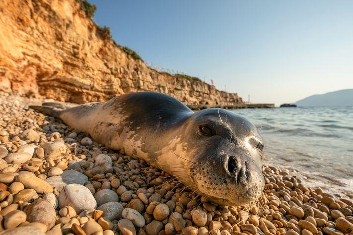 Una foca monje del Mediterráneo descansa en la playa de Alónnisos, parte de un parque nacional ...