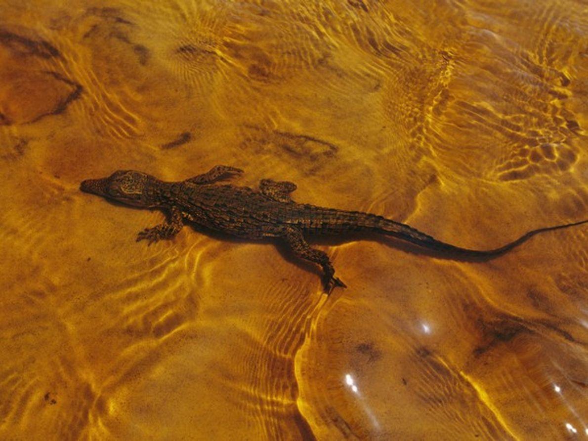 Joven cocodrilo del Nilo en aguas poco profundas