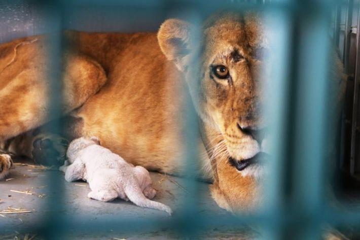 Dana la leona