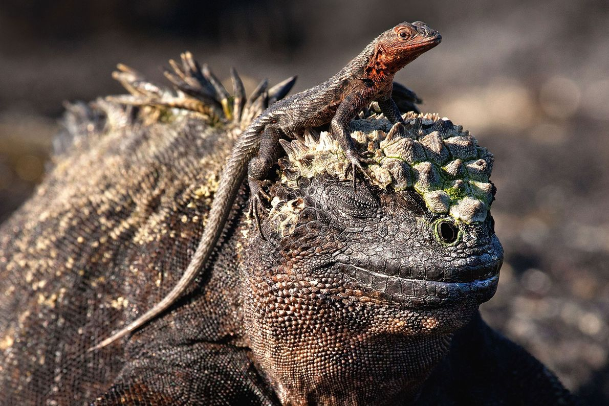 Reptil e iguana marina
