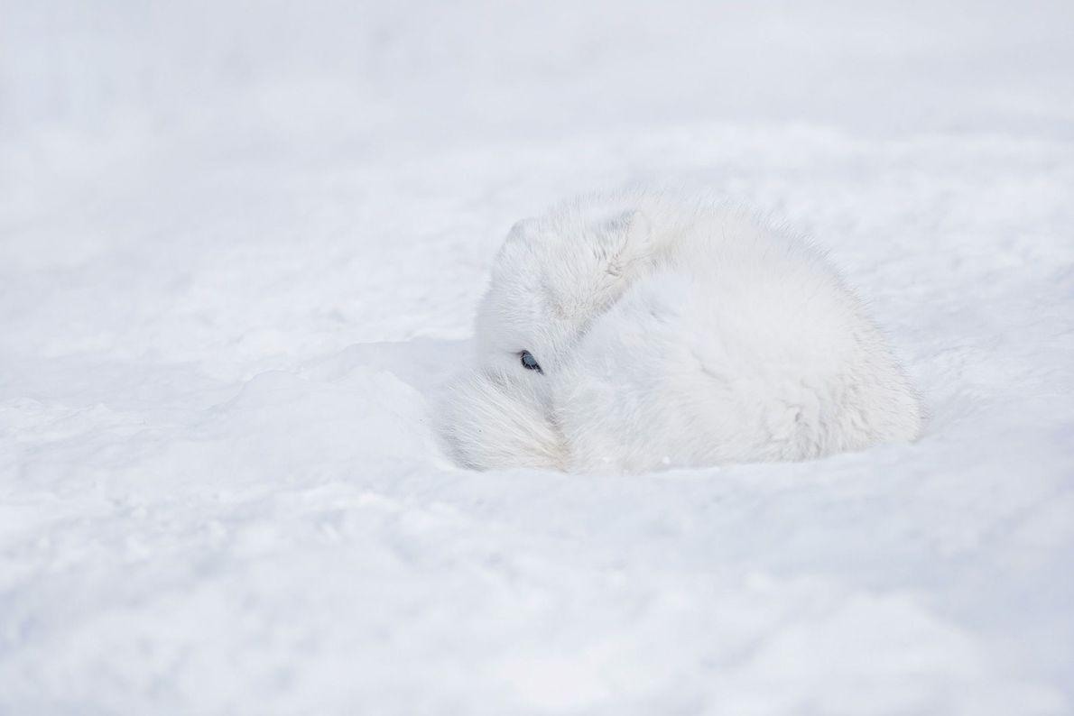 Arctic fox. Baie-D'Urfé, Quebec, Canada
