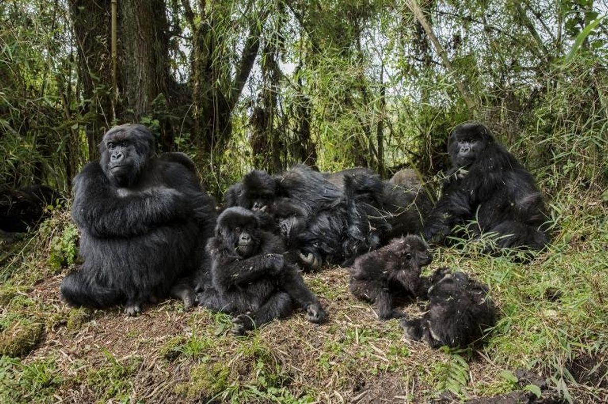 Gorilas de montaña