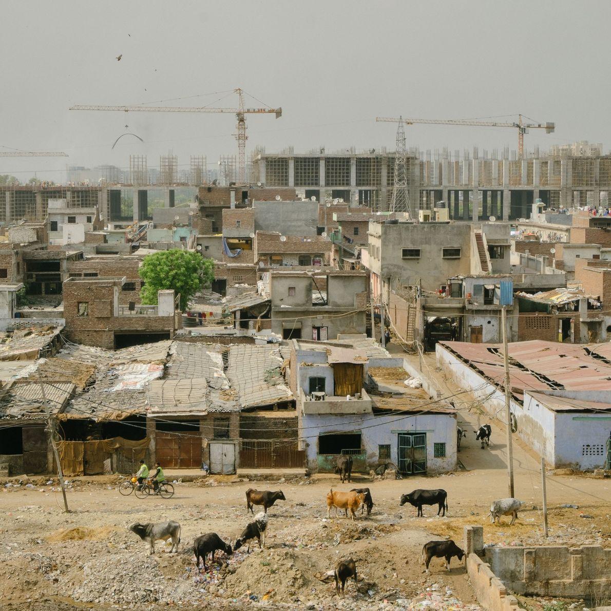 Granjas lecheras junto al basurero de Ghazipur en Delhi