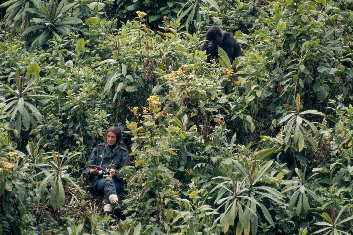 Dian Fossey toma notas