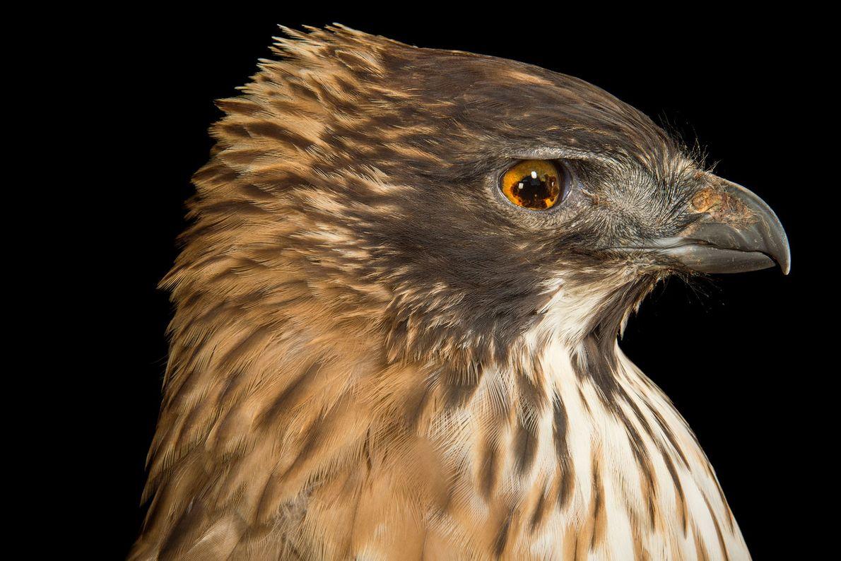 Un águila azor montañesa