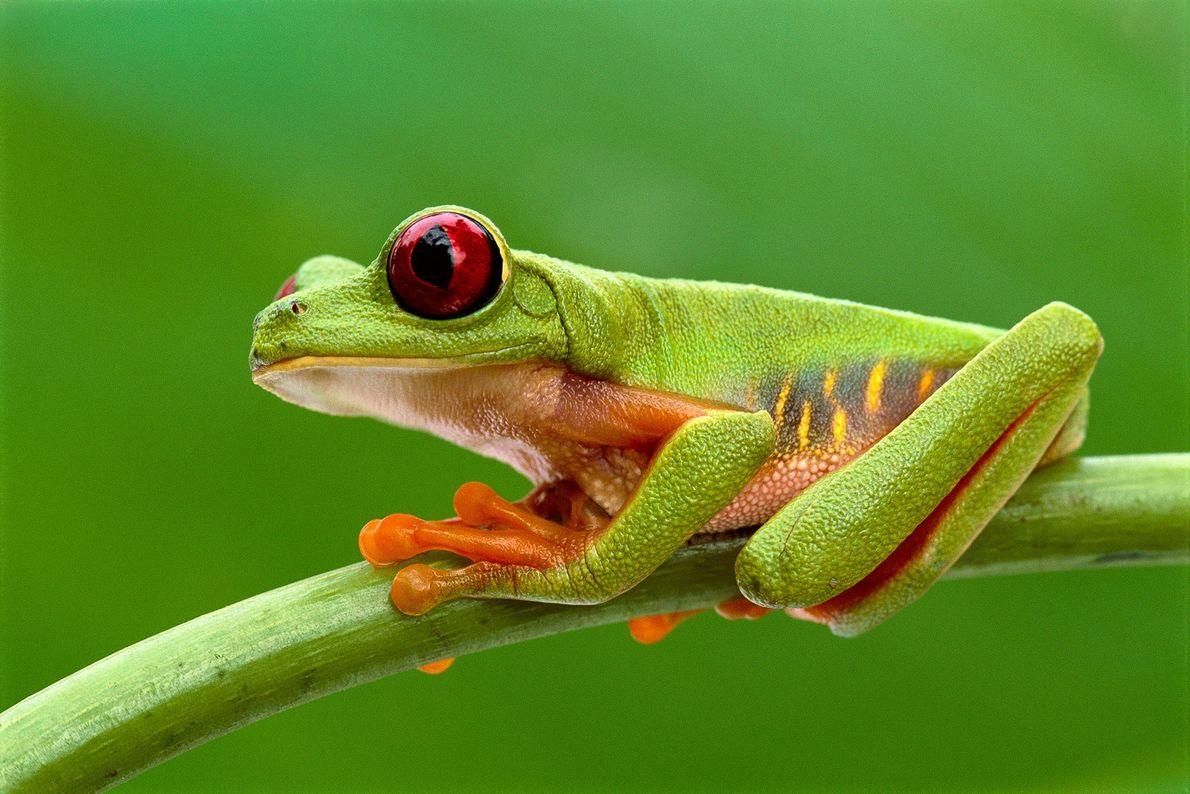 Una rana verde de ojos rojos