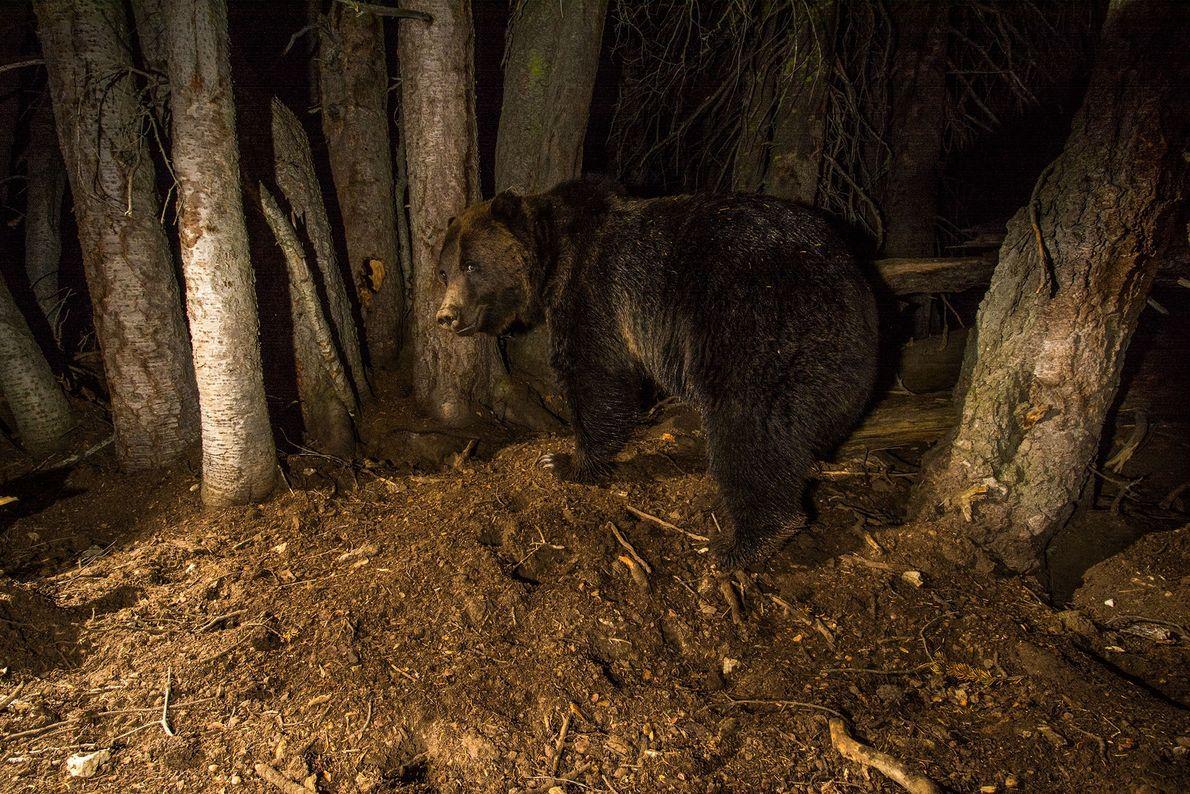 Un oso en busca de alimento