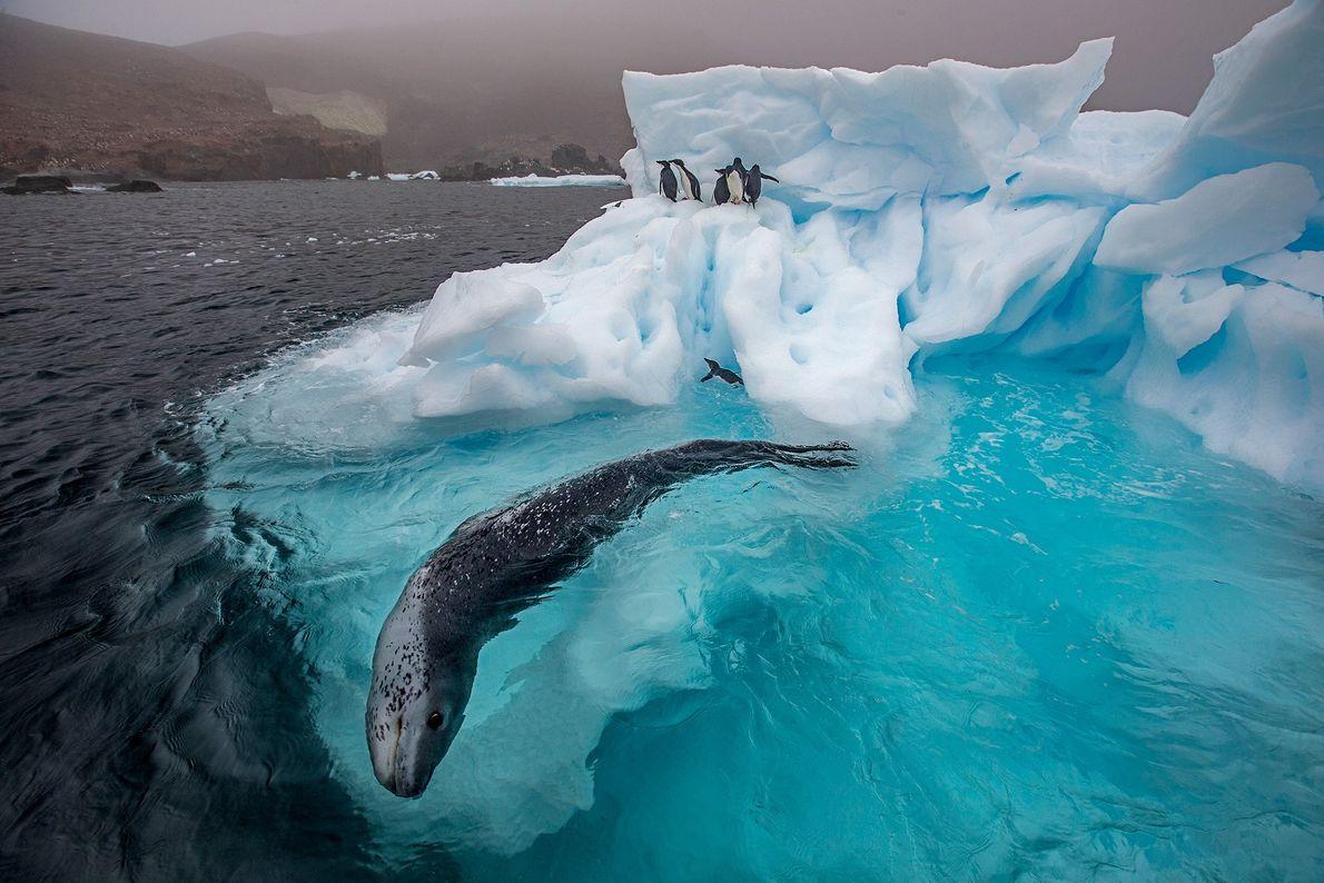 Una foca leopardo