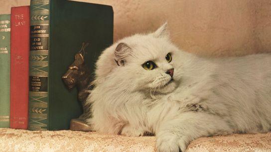 Un persa chinchilla