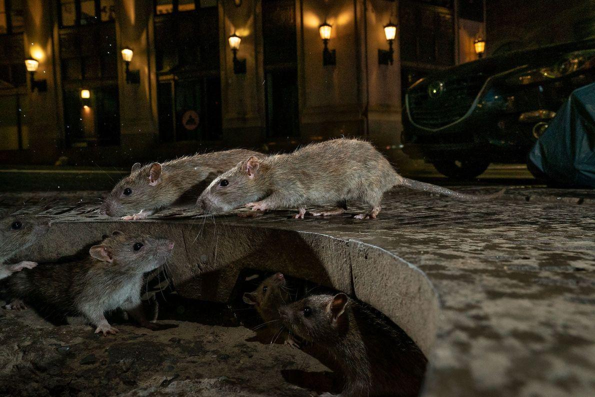 Ratas, Charlie Hamilton James