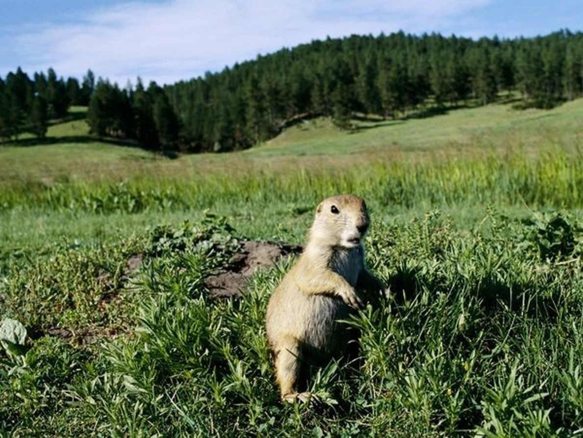 Perrito de las praderas, Dakota del Sur
