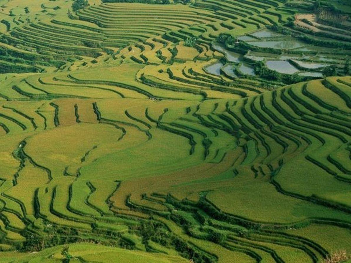 Campo de arroz en terrazas  Fotografía por Peter Essick  Cultivos en terrazas como estos ...