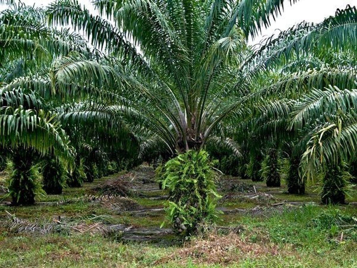 Árboles de aceite de palma