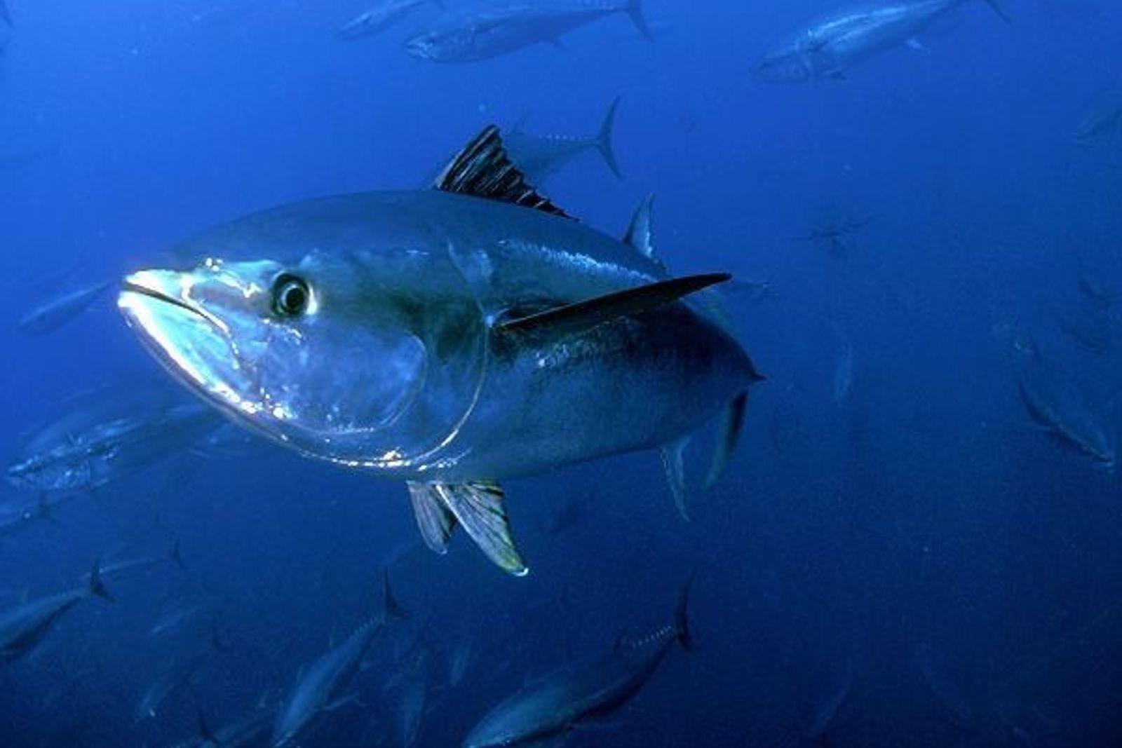 El atún rojo
