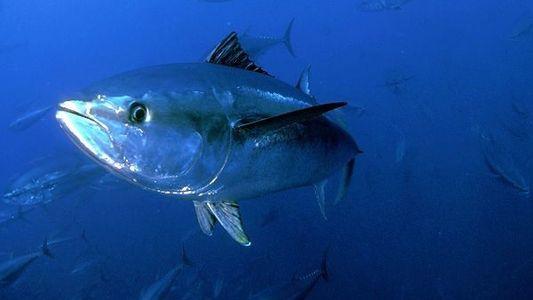 El estado actual del atún rojo del Mediterráneo