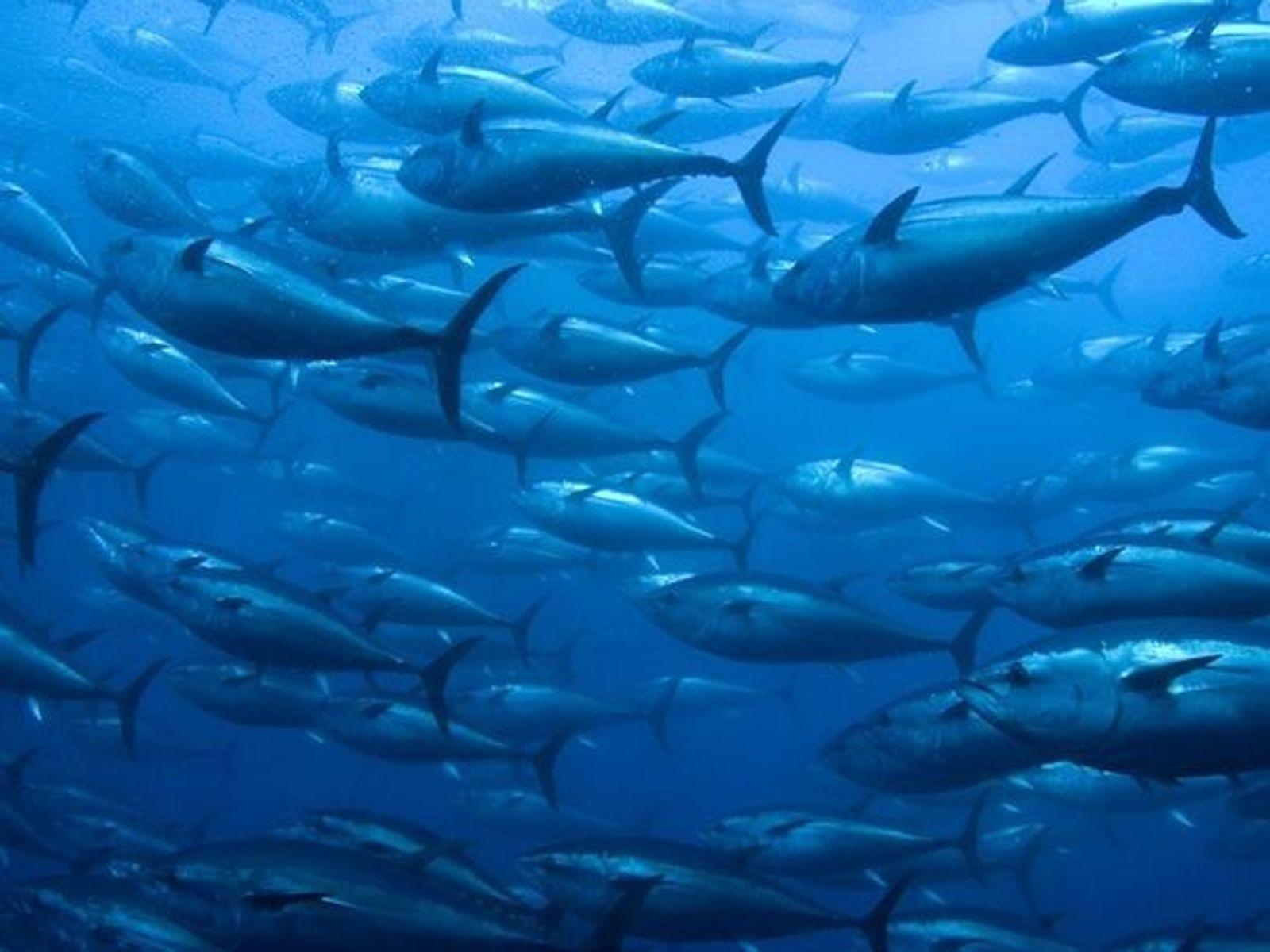 El futuro de las especies de atún del Atlántico, en grave peligro por la pesca indiscriminada