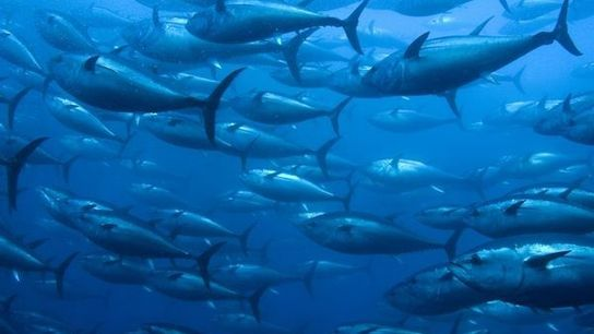 El destino del atun rojo