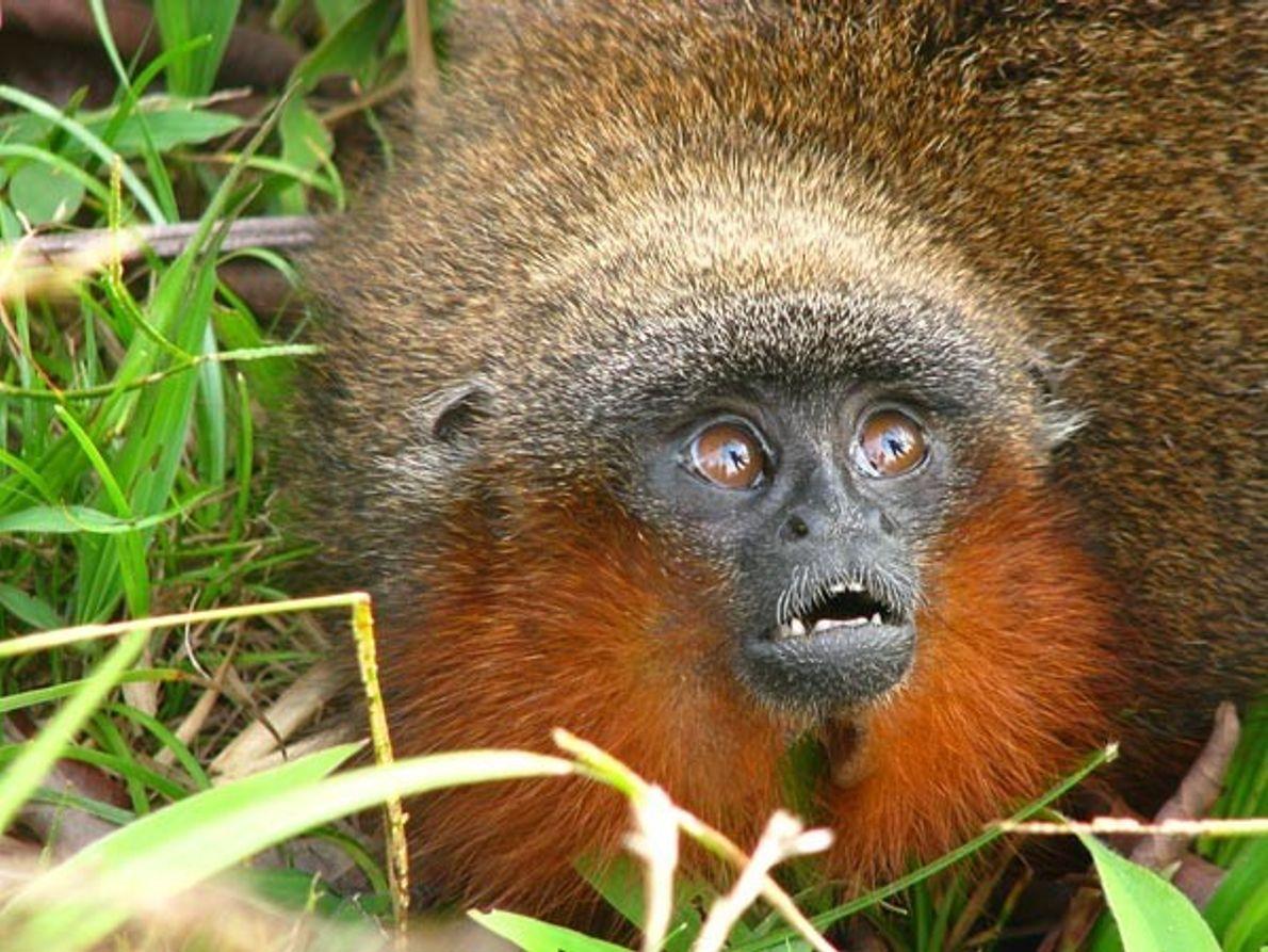 Mono Caquetá Titi